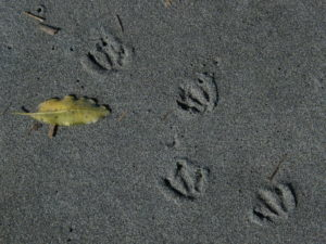 blue penguin footprints