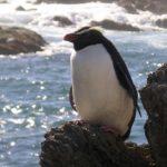 Fiordland Crested Penguin, Taumaka Island