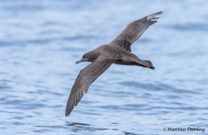 Sooty Shearwater, borrowed from nzbirdsonline, photo by Matthias Dehling