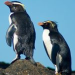The Tawaki Project pair of fiordland crested penguins c