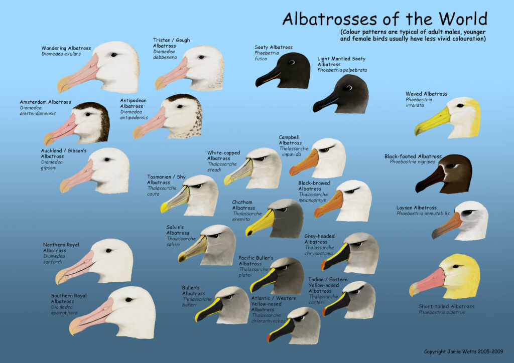 Albatrosses of the World