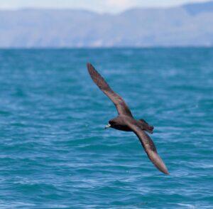 Westland petrel in flight
