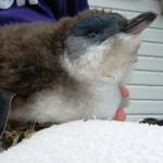 juvenile penguin - died 6 hours later 28 Dec 12