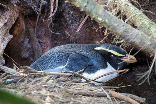 Female tawaki sitting on eggs Jackson Head - Photo Thomas Mattern The Tawaki Project