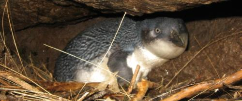 Blue penguin on nest, Jasmine, West Coast