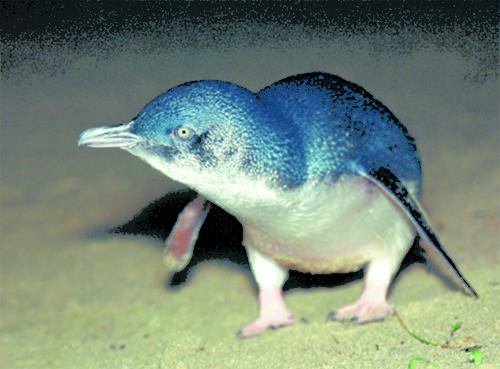 blue penguin by Tui de Rooy